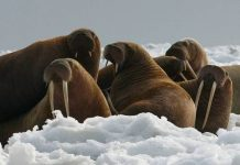 what eats walruses