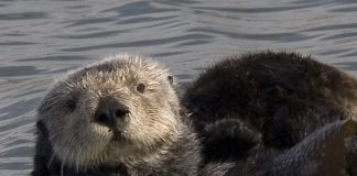 what do sea otters eat