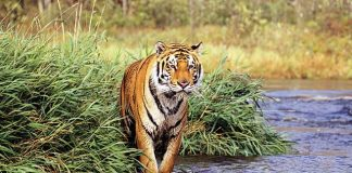 do bengal tigers live in the rainforest