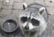 Are raccoons rodents