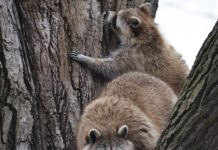 Can raccoons climb trees or fences - picture