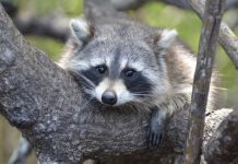 Are raccoons nocturnal
