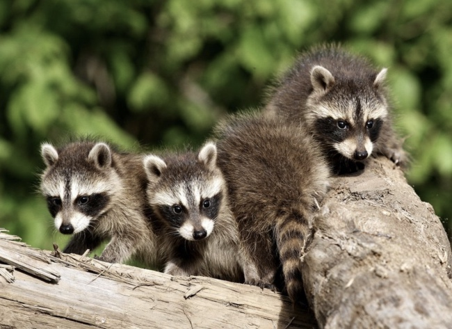 Where do raccoons live - raccoon habitat