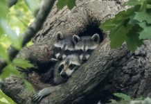 Where do raccoons sleep