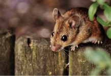 can mice climb stairs