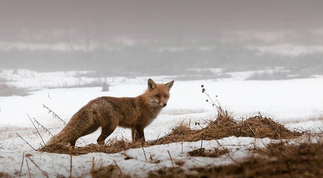 Where Do Foxes Live in the Natural Habitat?