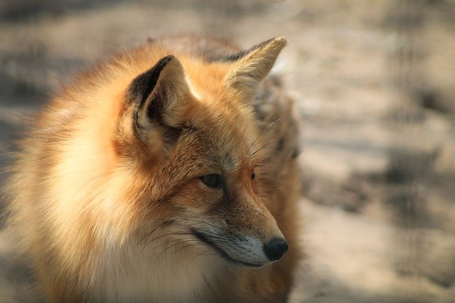 What Does a Fox Look Like?
