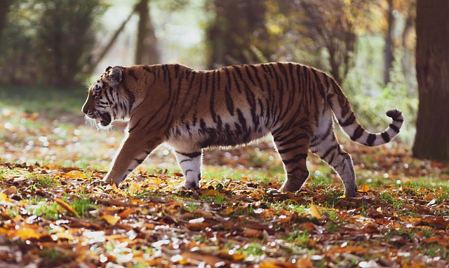 What Do You Know about Tigers?